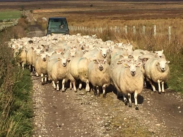 20161009_nidderdale_sheep